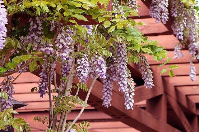 wisteria na zahradě